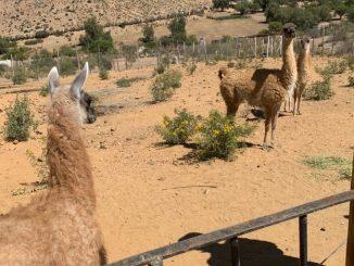 SAG Antofagasta llama a efectuar Declaración Semestral de Fauna Silvestre del segundo semestre del 2020
