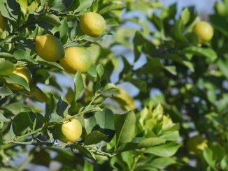 SAG establece nuevas medidas pata suprimir plagas no cuarentenarias de viveros de cítricos