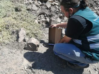 SAG devuelve a su hábitat culebra de cola corta hallada en el sector norte de Antofagasta